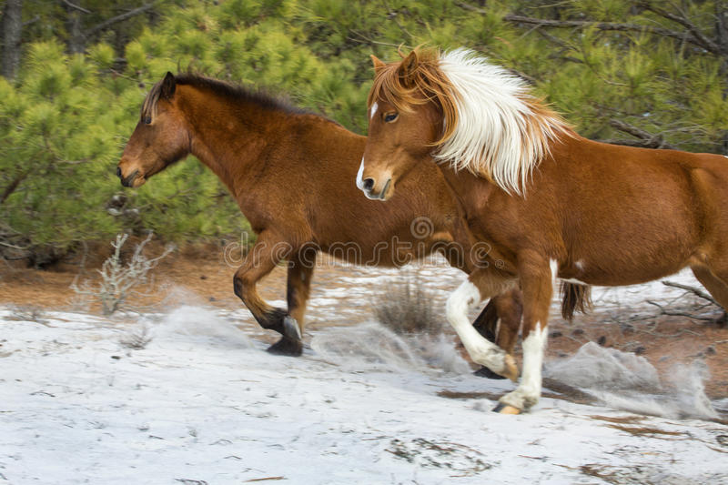 Los caballos salvajes corren en bosque arenoso en la isla de Assateague, Maryland fotografía de archivo