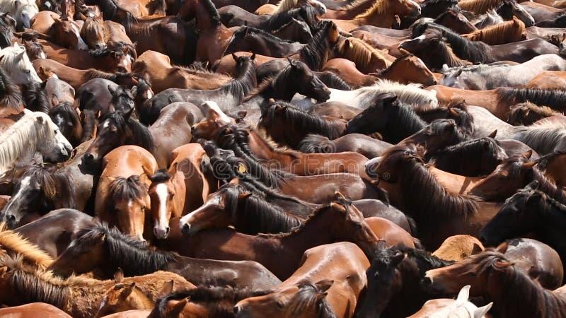 Los caballos salvajes redondearon para arriba en la arena apretada durante el Rapa das Bestas metrajes