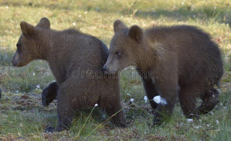 Los cachorros del oso marrón salvaje (arctos del Ursus) en un prado del verano fotos de archivo libres de regalías