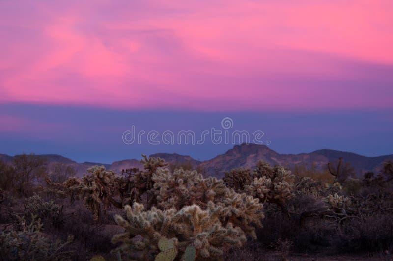 Los cactus del chola del oso de peluche brillan intensamente en el crepúsculo de la puesta del sol foto de archivo