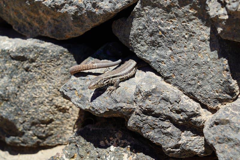 Los caesaris de Gallotia, pequeño lagarto canario toman el sol en rocas fotos de archivo