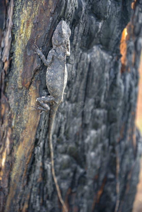 Los camaleones cambian color en la parte quemada 2 de tronco de árbol foto de archivo libre de regalías