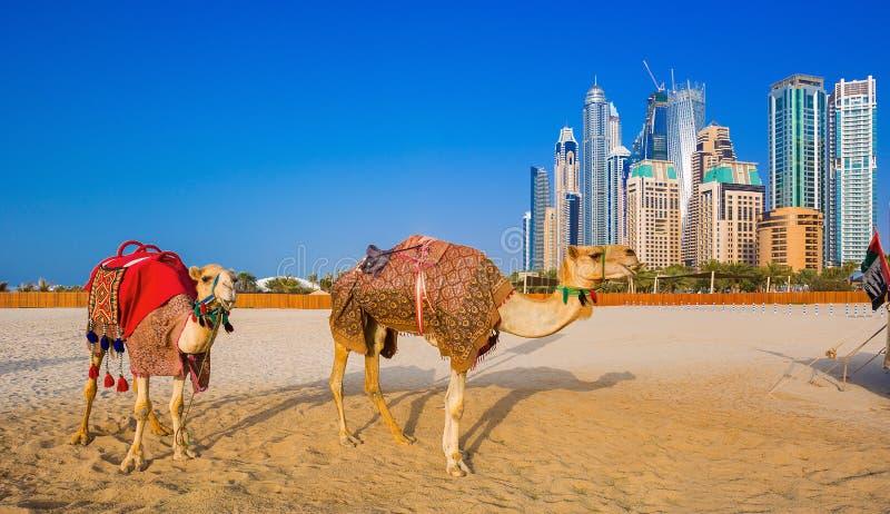 Los camellos en la playa de Jumeirah y rascacielos en el backround en Dubai foto de archivo libre de regalías