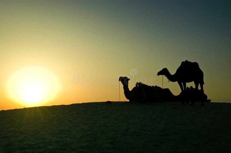 Los camellos en la puesta del sol se encienden en una alta duna en desierto del Sáhara foto de archivo