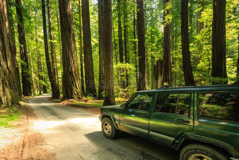 Los caminantes disfrutan de paseo a través de rastros del bosque de la secoya de Humboldt imágenes de archivo libres de regalías