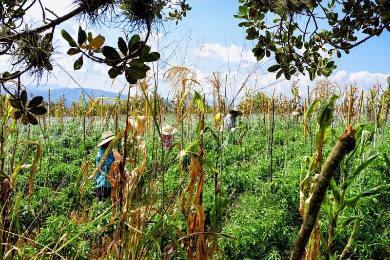Los campesinos cosechan maíz en el Mesa de los Santos, Colombia fotografía de archivo
