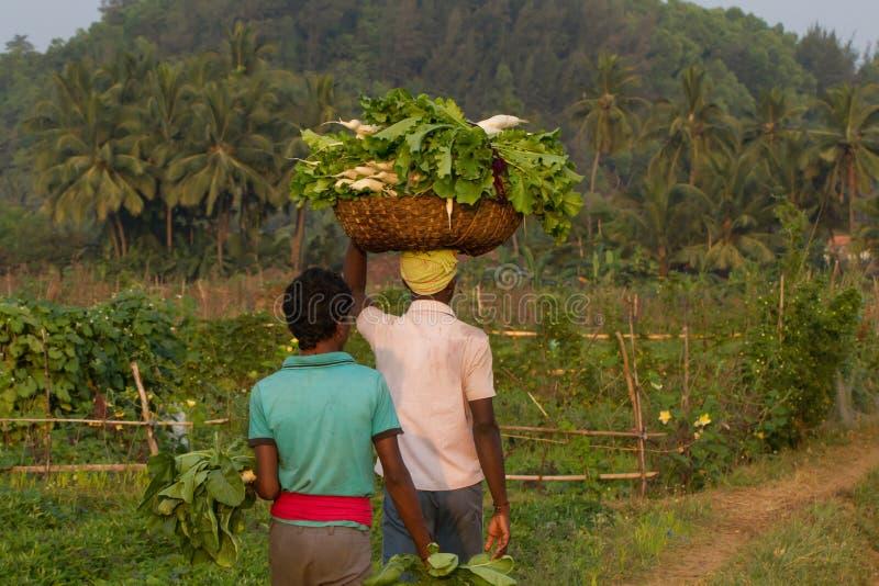 Los campesinos indios llevan la cosecha del rábano blanco Una granja orgánica típica en la India, Karnataka, Gokarna foto de archivo libre de regalías