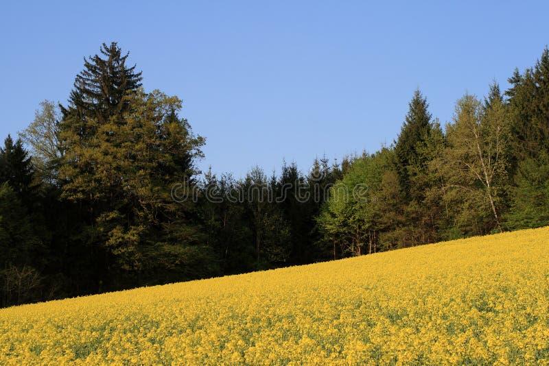 Los campos amarillos de Canola crecen energía alternativa fotos de archivo libres de regalías