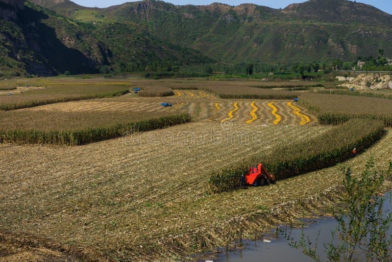 Los campos de maíz están consiguiendo en las cosechas imagenes de archivo