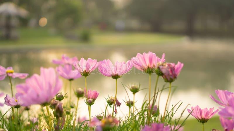 Los campos de pétalos bastante rosados de las flores del cosmos florecen en las hojas verdes y el pequeño brote en un parque en f fotografía de archivo