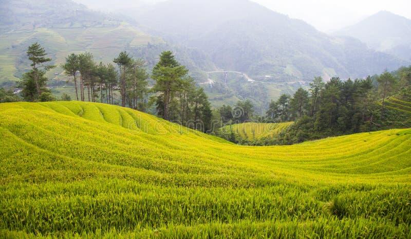 Los campos del arroz preparan la cosecha en al noroeste de Vietnam imagenes de archivo
