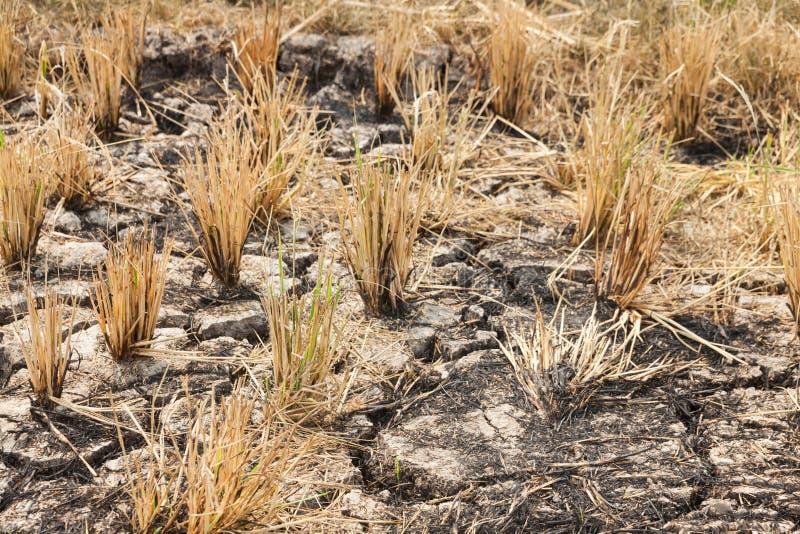 Los campos del arroz quemaron después de la cosecha foto de archivo