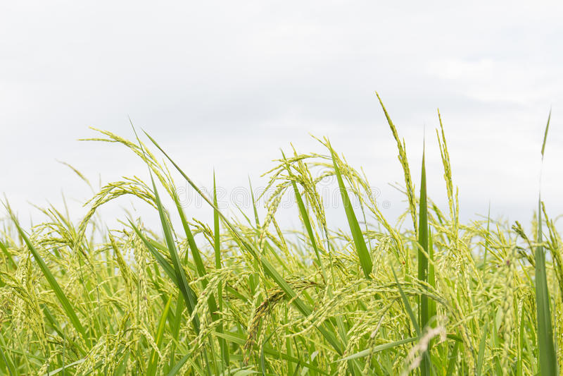 Los campos del arroz se cierran para arriba imagen de archivo