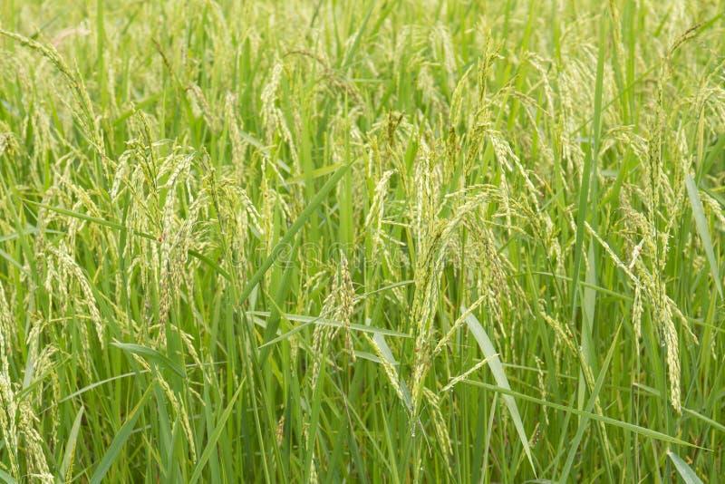 Los campos del arroz se cierran para arriba imágenes de archivo libres de regalías
