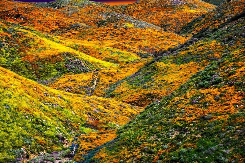 Los campos paisaje, ajuste de la amapola de California del sol en horizen el bastidor para gloden resplandor sobre las colinas y  fotografía de archivo libre de regalías