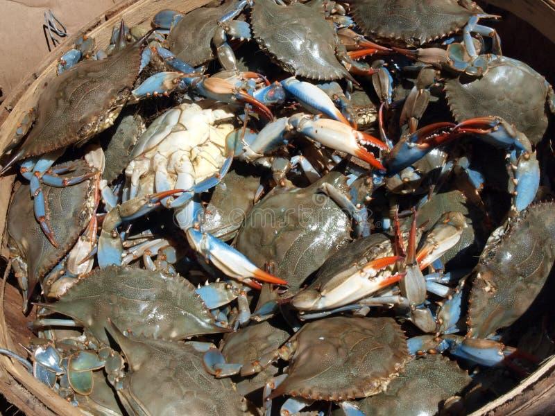Los cangrejos azules cierran up4 foto de archivo libre de regalías