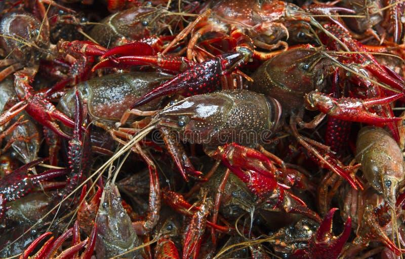 Los cangrejos vivos se cierran para arriba imagen de archivo libre de regalías