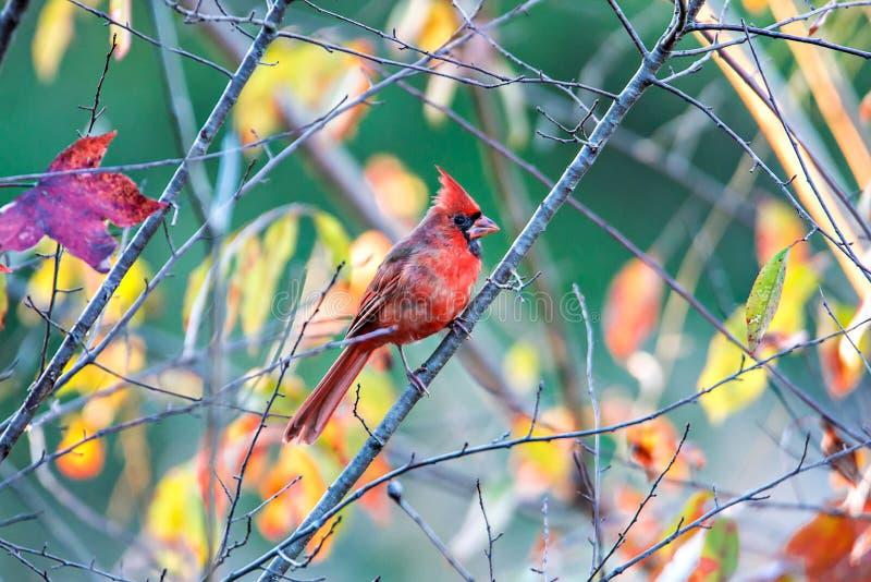 Los cardinalis cardinales septentrionales de Cardinalis se encaramaron en una rama fotos de archivo libres de regalías