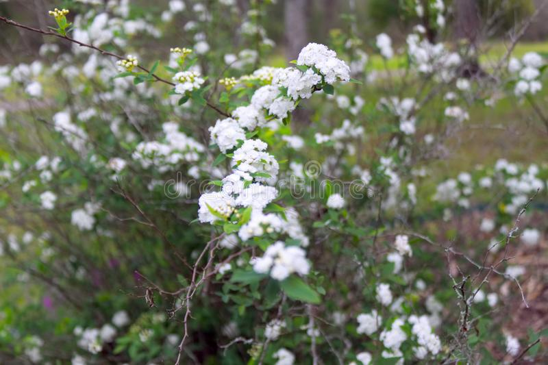 Los cassinoides blancos del Viburnum de la canción del ` de Lil del Viburnum florecen imágenes de archivo libres de regalías