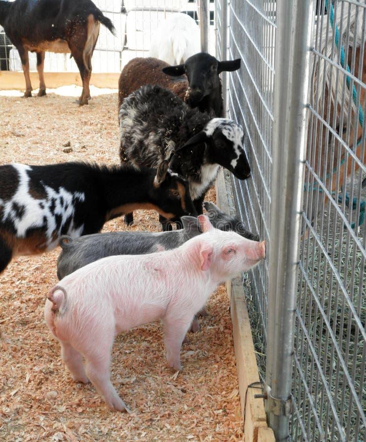 Los cerdos, las cabras y los sheeps del bebé piden a caballo consejo imagenes de archivo