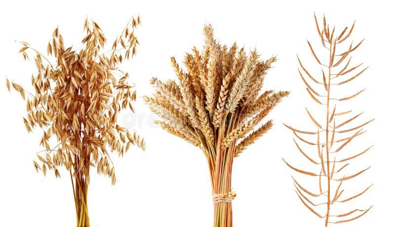Los cereales maduros plantan la avena, el trigo y el canola aislados en un fondo blanco imágenes de archivo libres de regalías