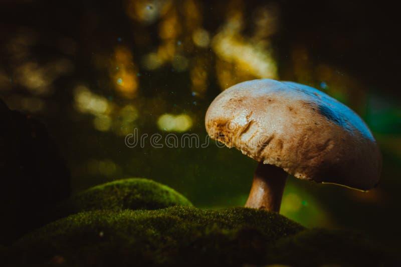 Los champiñones frescos del bosque de la seta crecen en musgo imagenes de archivo