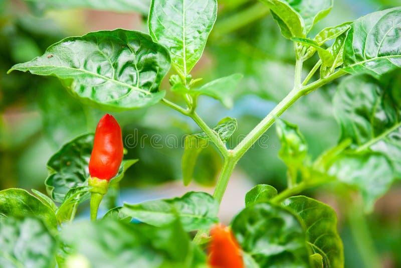 Los chiles plantan como el día soleado para crecer, gusto de chiles son calientes imágenes de archivo libres de regalías