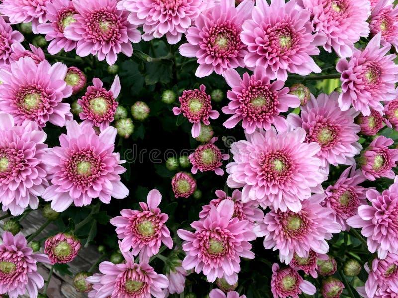 Los chrysanths rosas claros florecen vista delantera en el ramo fotos de archivo libres de regalías