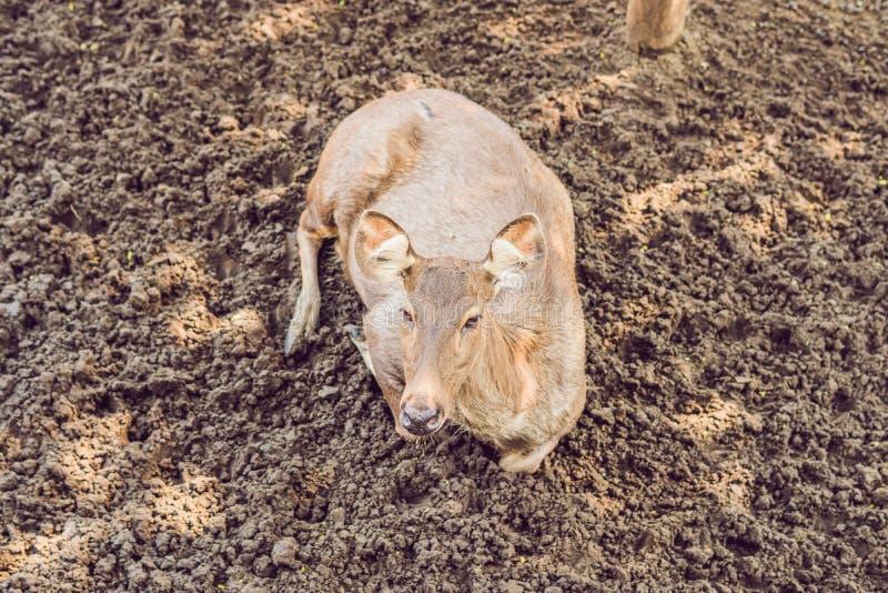 Los ciervos comen en un safari del parque zoológico en el mediodía del verano imagen de archivo libre de regalías