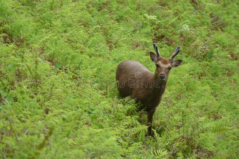 Los ciervos de Yakushima fotografía de archivo