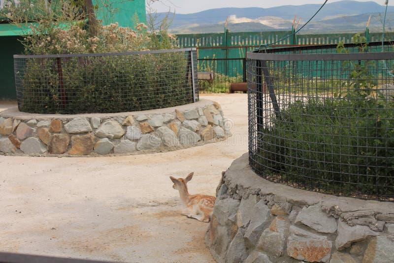 Los ciervos en el parque zoológico fotografía de archivo libre de regalías
