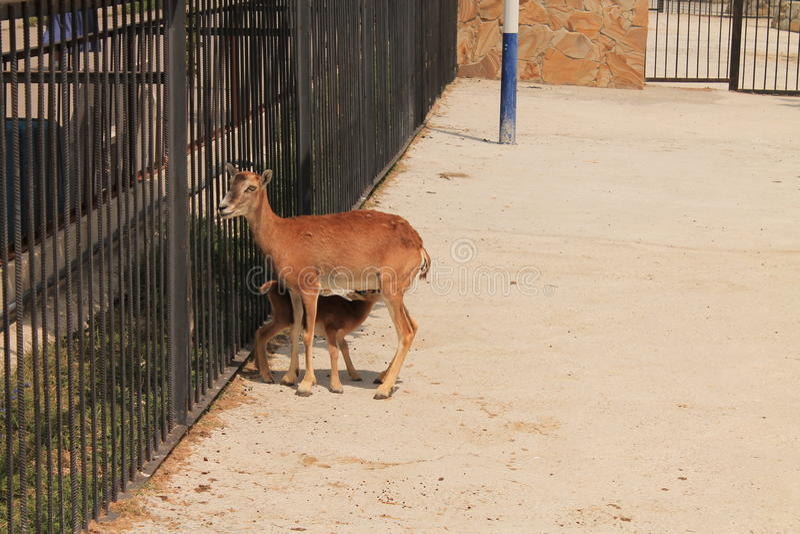 Los ciervos en el parque zoológico fotos de archivo libres de regalías