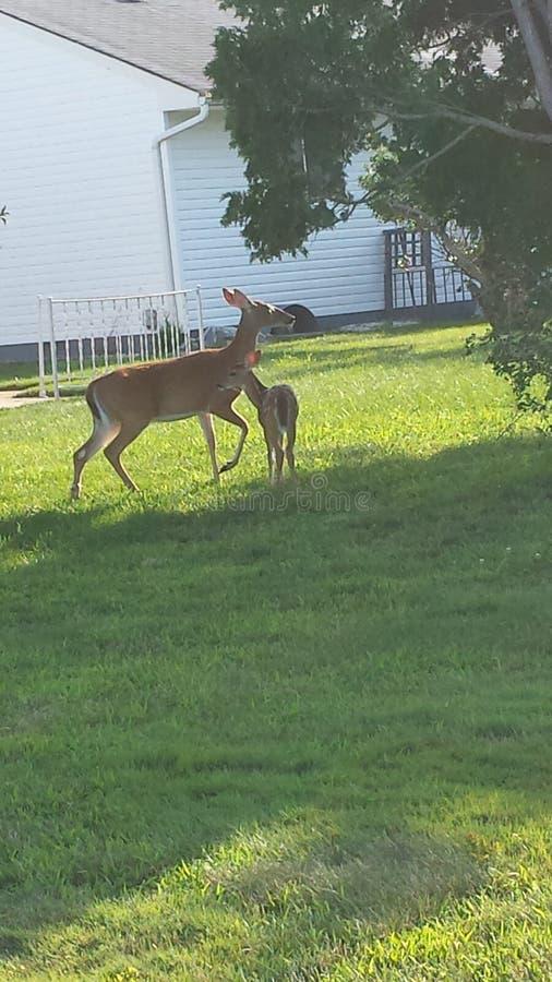 Los ciervos hacia fuera tienen un gran día en un patio trasero en el verano imagen de archivo