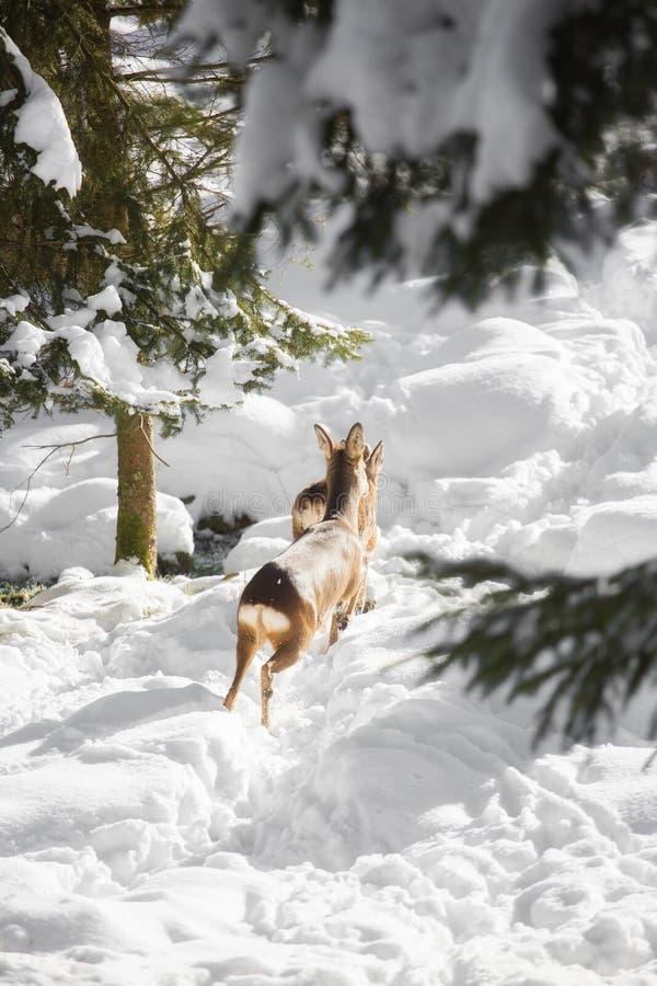 Los ciervos jovenes saltan en la nieve imagen de archivo libre de regalías