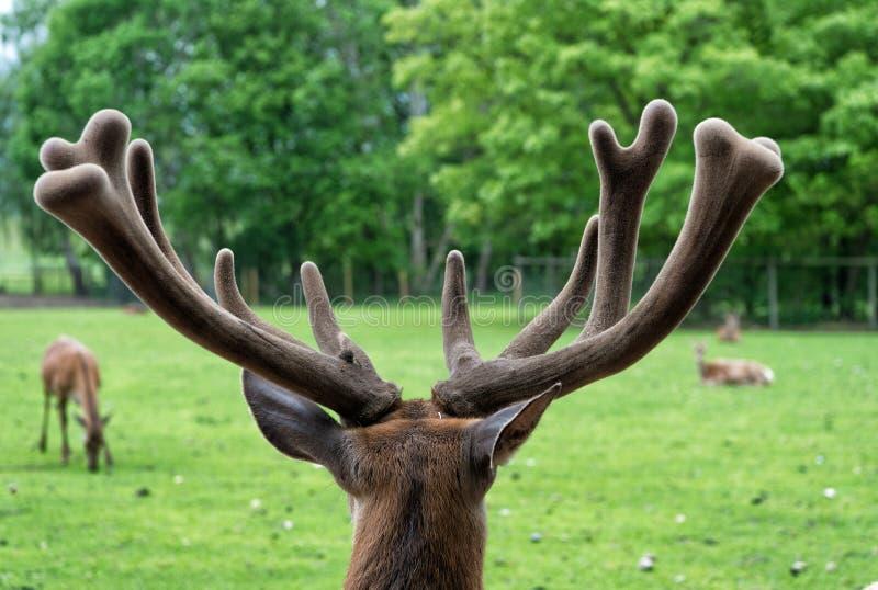 Los ciervos magn?ficos se cierran para arriba Ciervos en fondo de la naturaleza del ambiente natural Los derechos de los animales foto de archivo libre de regalías