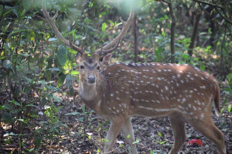 Los ciervos manchados miran la cámara en el bosque imagen de archivo libre de regalías