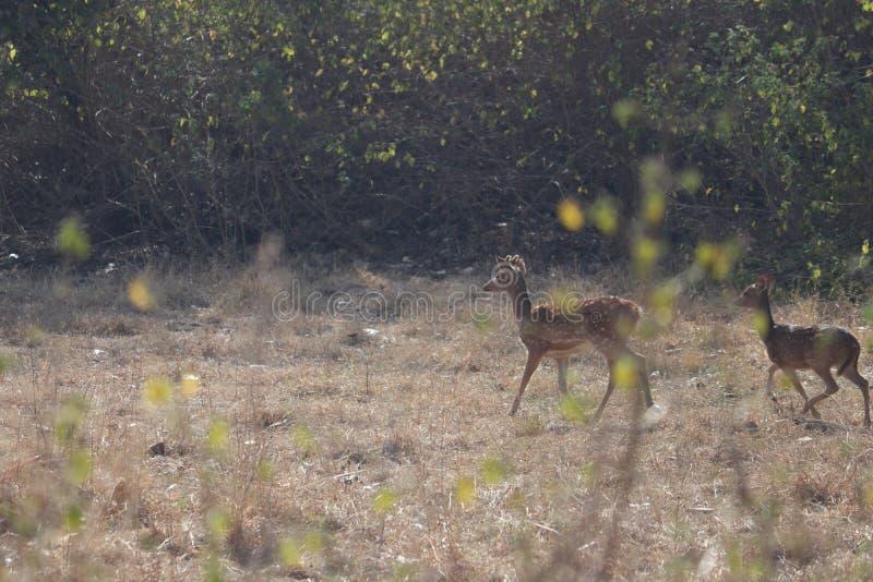 Los ciervos que vagan por foto de archivo