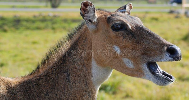 Los ciervos son los mamíferos del rumiante que forman el Cervidae de la familia especie imagen de archivo libre de regalías