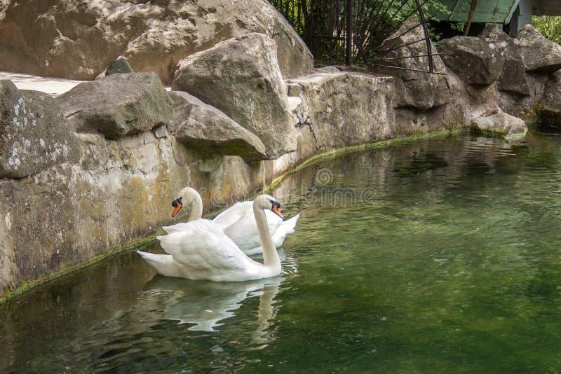 Los cisnes blancos adultos de los pájaros nadan en el agua fotos de archivo libres de regalías