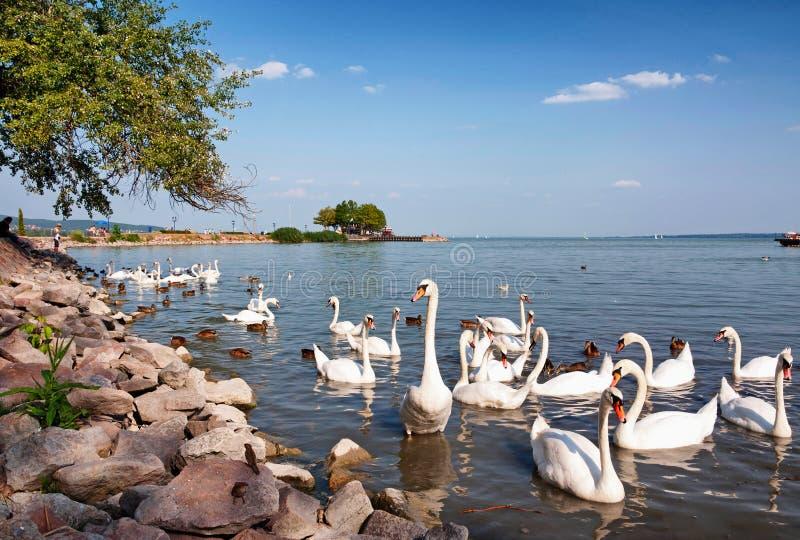 Los cisnes están comiendo en el lago Balaton, Hungría foto de archivo libre de regalías