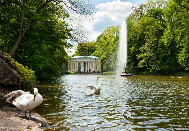Los cisnes hermosos en el lago en Sofiyivsky parquean en Uman, Ucrania imagenes de archivo