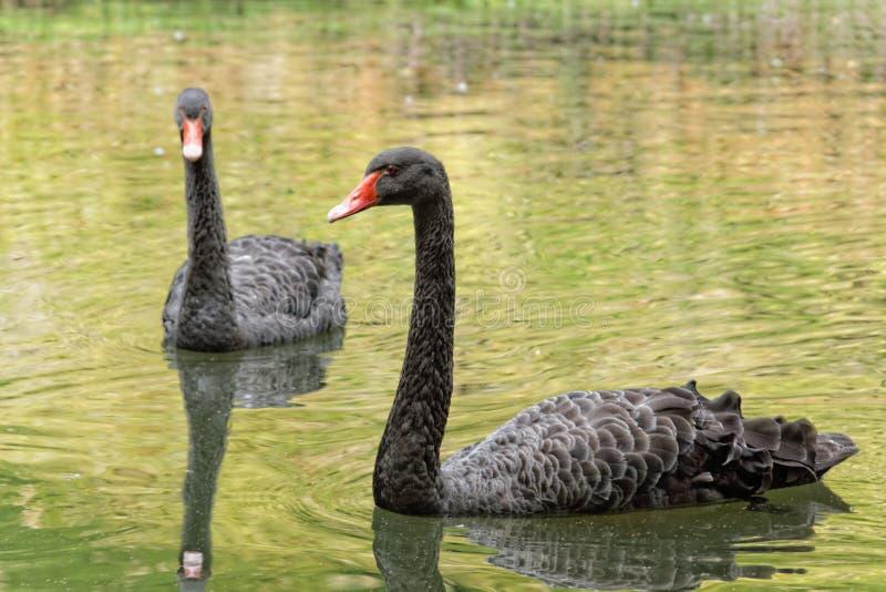 Los cisnes negros en el lago en el jardín botánico del sao Miguel de Furnas foto de archivo libre de regalías