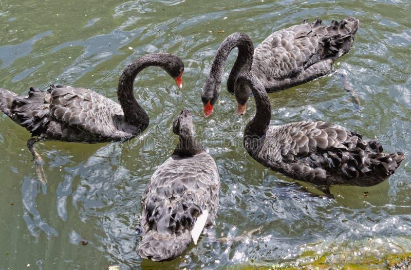 Los cisnes negros en el lago en el jardín botánico del sao Miguel de Furnas imagenes de archivo