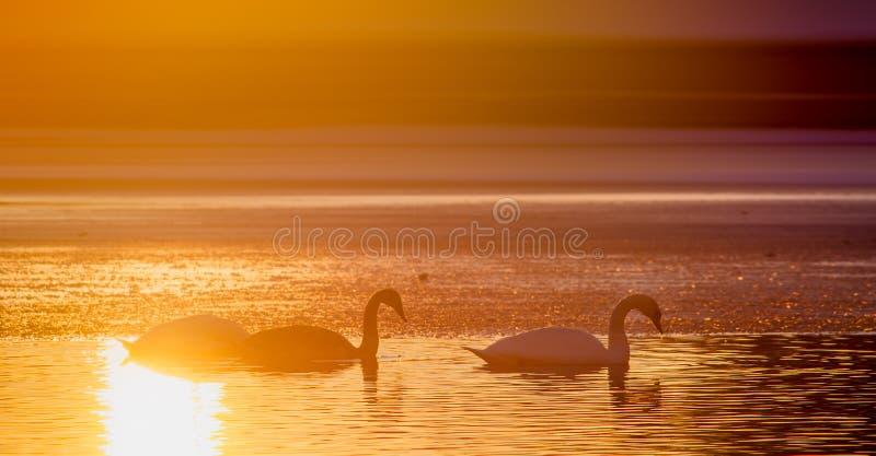 Los cisnes siluetean en el lago en la puesta del sol foto de archivo libre de regalías