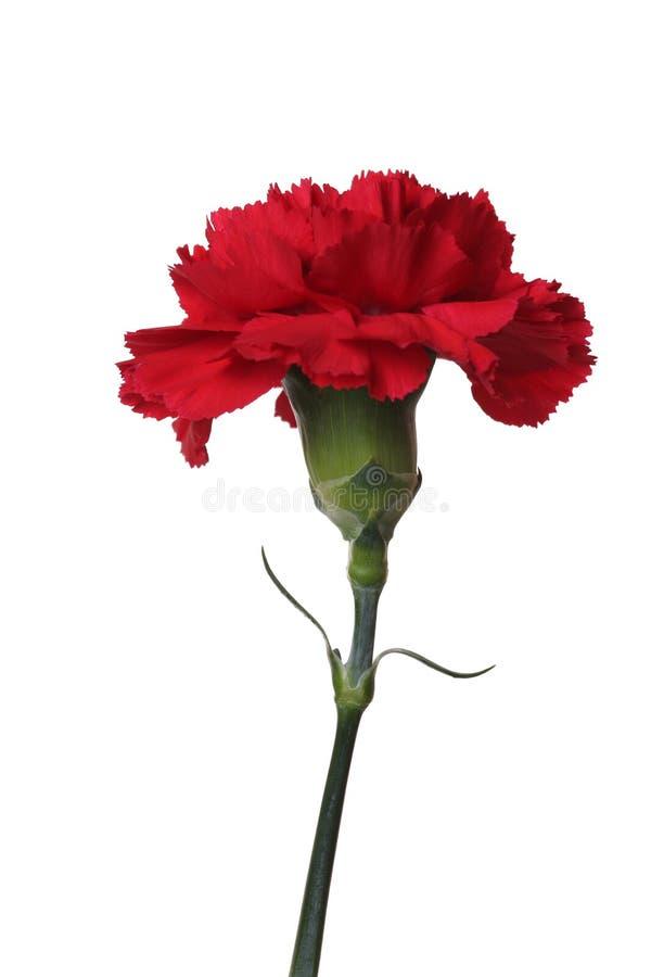 Los claveles rojos son las flores de la victoria. fotografía de archivo