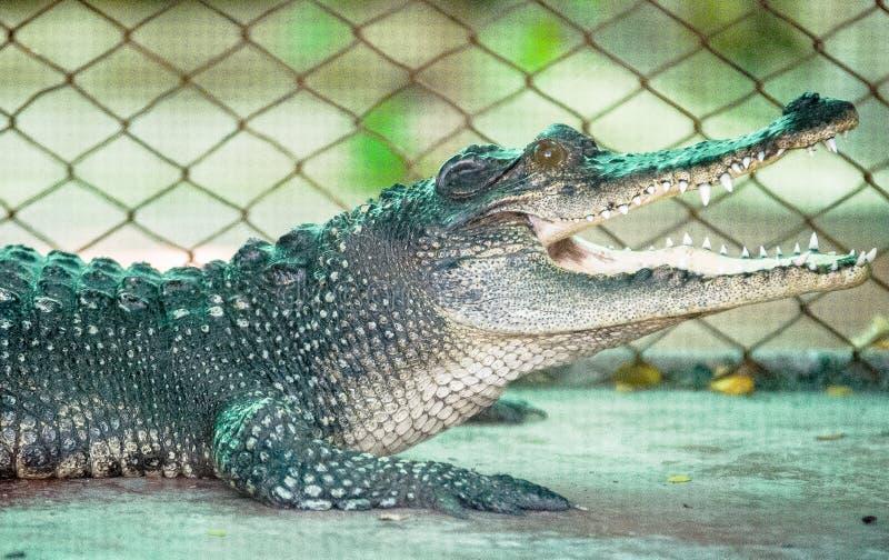 Los cocodrilos abren su boca imagen de archivo libre de regalías