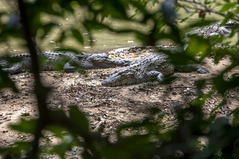 Los cocodrilos gozan del sol de la mañana en la costa este de Sri Lanka fotografía de archivo libre de regalías