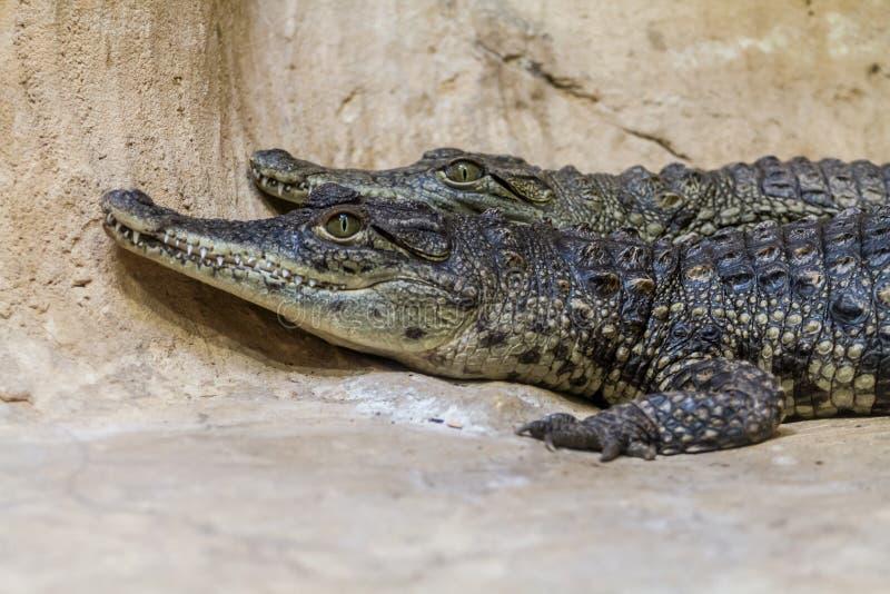 Los cocodrilos jovenes del Nilo, parque zoológico bíblico en Jerusalén imágenes de archivo libres de regalías