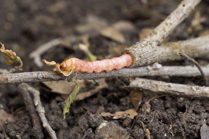 Los coffeae o las polillas rojos de Zeuzera provienen el perforador destruyen el árbol, es parásitos de insecto peligrosos con la fotos de archivo libres de regalías