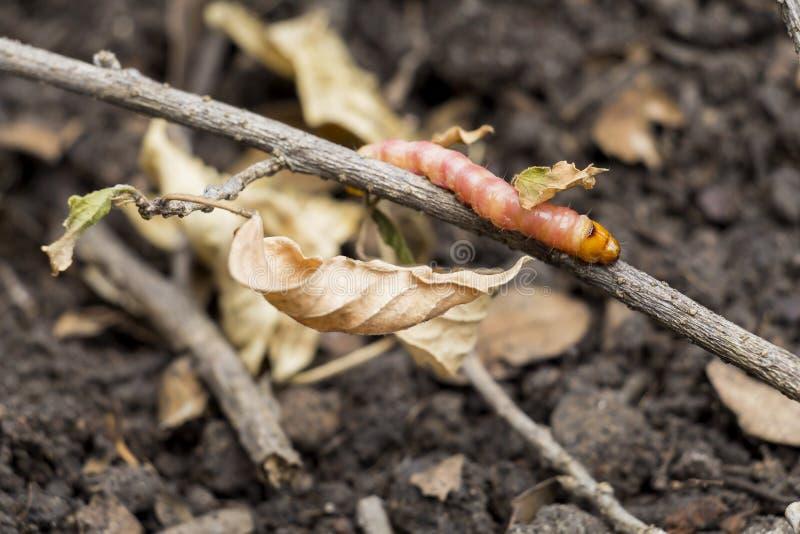 Los coffeae o las polillas rojos de Zeuzera provienen el perforador destruyen el ?rbol, es par?sitos de insecto peligrosos con la fotos de archivo